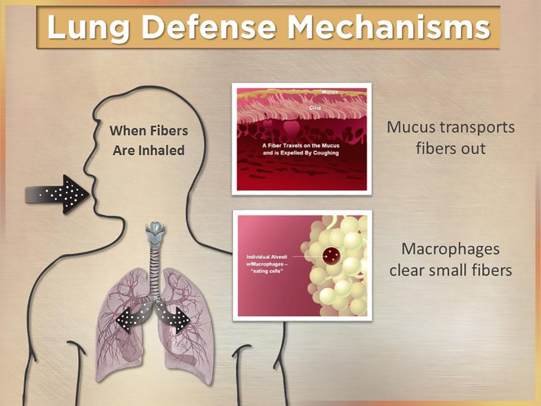 Lung Defense Mechanisms Visual Advantage Courtroom Graphics